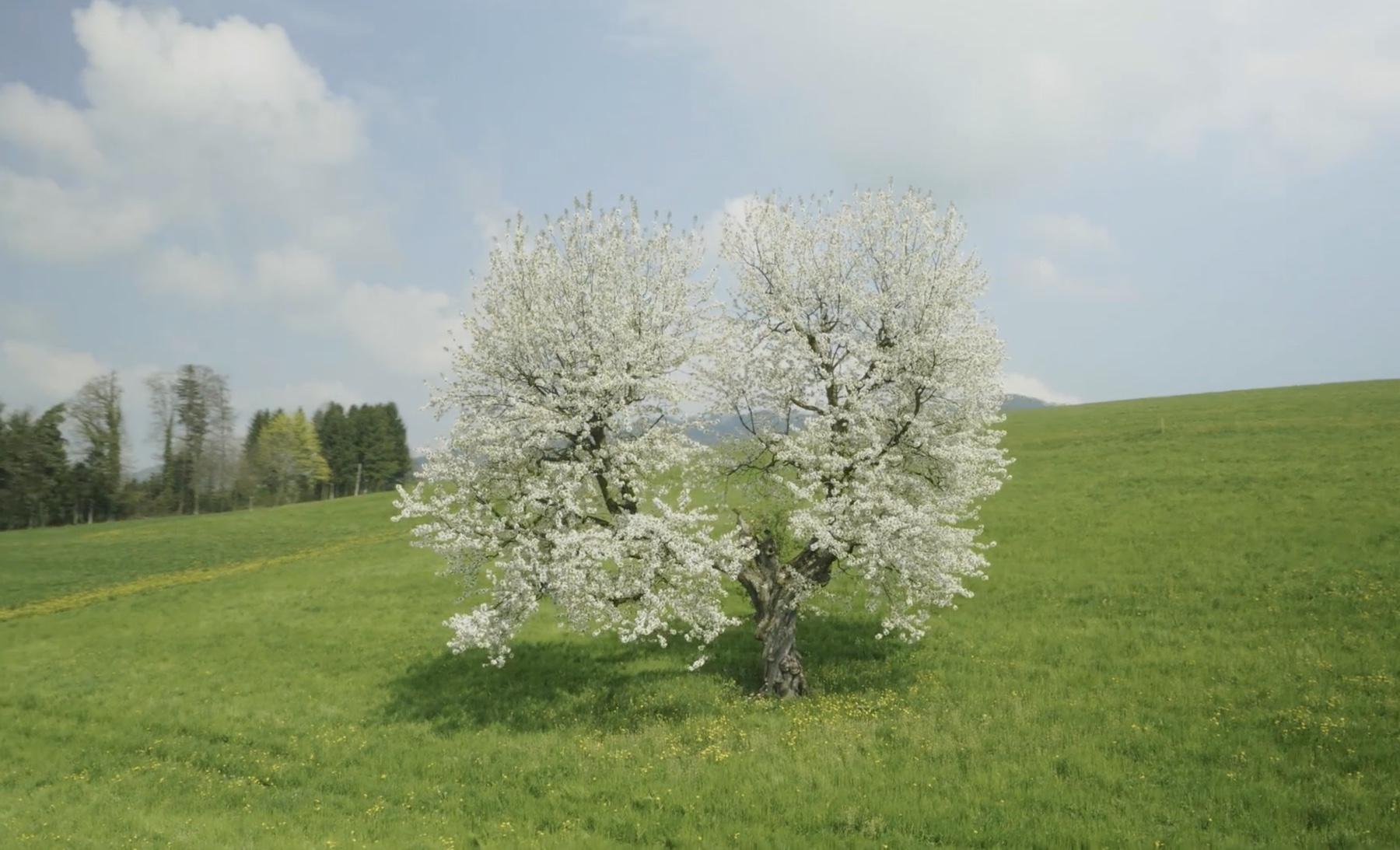 Hochstamm_Suisse_Zuger_Rigi_Chriesiland